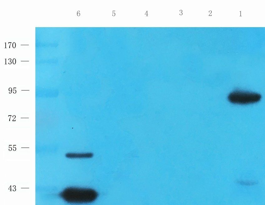 Western blot analysis of rat heart (lane 1), mouse skeletal muscle (lane 2), rat testis (lane 3), mouse colon (lane 4), rat thymus (lane 5), mouse liver (lane 6) tissue using anti-PGC1 alpha antibody (0.5 ug/ml)
