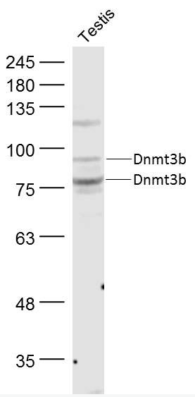 Western blot analysis of Mouse Testis Lysate using DNMT3B antibody.