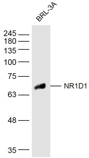 Western blot analysis of Rat Cell Lysate using NR1D1 antibody.