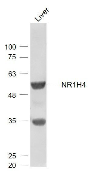 Western blot analysis of mouse liver lysate tissue using FXR antibody.