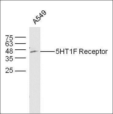 Western blot analysis of A549 lyates using 5HT1F Receptor antibody.