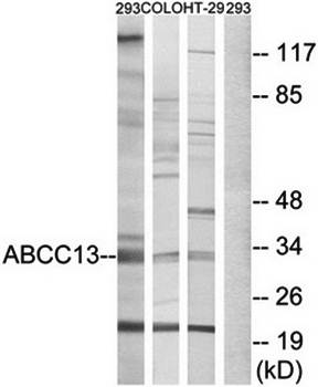 Western blot analysis of extracts from 293 cells, COLO cells and HT-29 cells using ABCC13 antibody