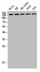 Western blot analysis of HELA KB SH-SY5Y 293T 3T3 lysis using ABL1 antibody
