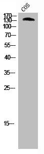 Western blot analysis of cos-7 cells using ABL1 antibody