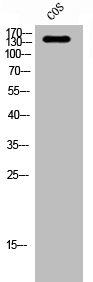 Western blot analysis of COS cells using ABL1 antibody