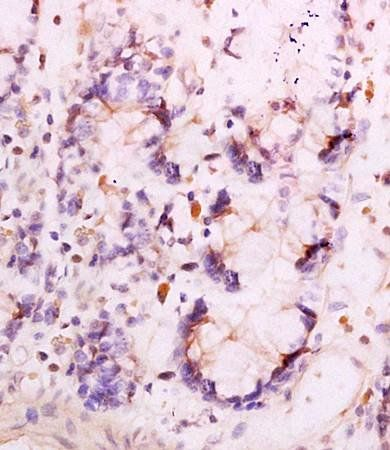 Immunohistochemical analysis of formalin fixed and paraffin embedded rat pancreas tissue using Adiponection Receptor 1 antibody