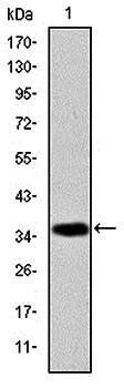 Western blot analysis of human AIF (AA: 1-261) recombinant protein using AIF antibody