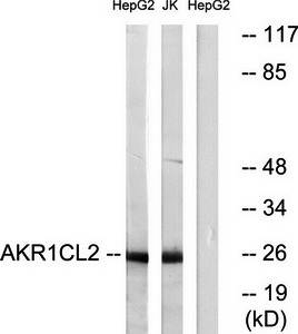 Western blot analysis of extracts from HepG2 cells and Jurkat cells using AKR1CL2 antibody