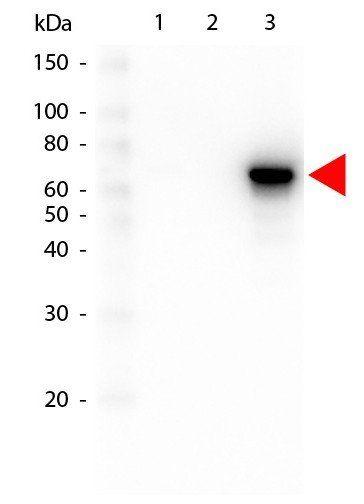 Western blot analysis of GST Tagged recombinant using AKT3 PE antibody (RPE)