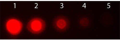 Dot Blot analysis of 1: 50 ng (Lane1), 16.67 ng (Lane2), 5.56 ng (Lane3), 1.85 ng (Lane4) using AKT3 PE antibody (RPE)