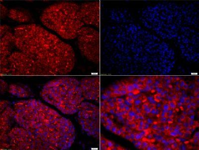 Immunofluorescence analysis of mouse embryo tissue using Amphiregulin antibody.