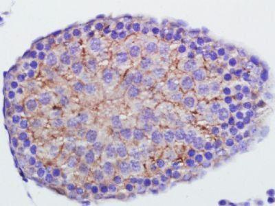 Immunohistochemical staining of rat testis tissue using Annexin V antibody.