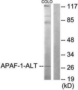 Western blot analysis of extracts from COLO205 using APAF-1-ALT antibody