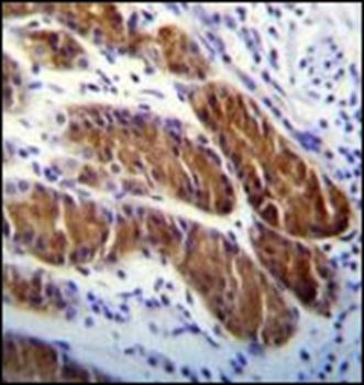 Immunohistochemical staining of paraffin embedded human stomach tissue using APG5 antibody (primary antibody dilution at: 1:10-50)