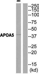 Western blot analysis of extracts from 293 cells using APOA5 antibody
