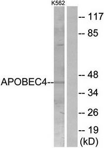 Western blot analysis of extracts from K562 cells using APOBEC4 antibody