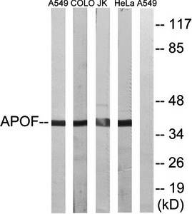 Western blot analysis of extracts from A549 cells, COLO cells, Jurkat cells and HeLa cells using APOF antibody