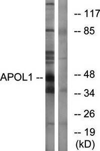 Western blot analysis of extracts from A549 cells using APOL1 antibody