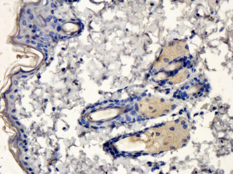 IHC-P image of rat skin tissue using anti-Apolipoprotein CIII (dilution of primary antibody at 5 ug/ml)