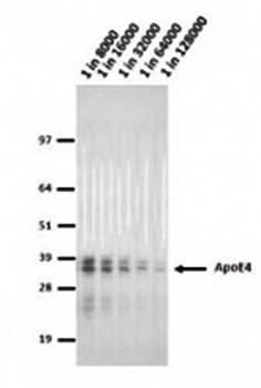 Western blot analysis of Apot4 cells using Apolipoprotein E4 antibody