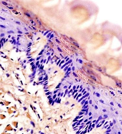 IHC-P of rat tongue tissue (Aquaporin 3 antibody at 1:300)