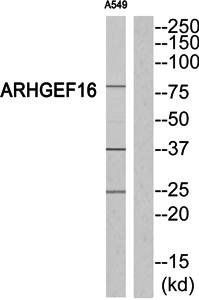 Western blot analysis of extracts from A549 cells using ARHGEF16 antibody