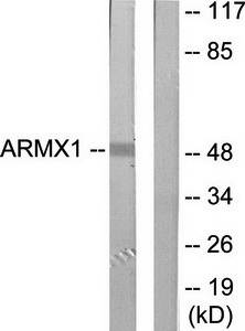Western blot analysis of extracts from rat brain cells using ARMX1 antibody