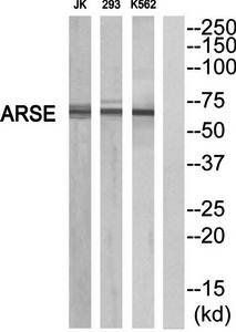 Western blot analysis of extracts from K562/293/Jurkat cells using ARSE antibody