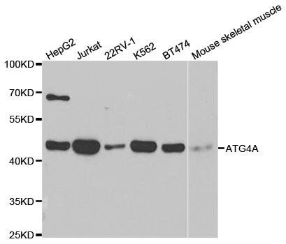 Western blot analysis of extracts of various cell lines using ATG4A antibody