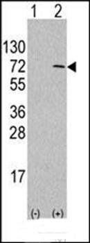 Western blot analysis of in 293 cell line lysatesusing ATG4D antibody (antibody dilution at 1:1000)