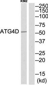 Western blot analysis of extracts from K562 cells using ATG4D antibody