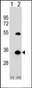 Western blot analysis of 293 cell lysateusing ATG5 antibody (primary antibody dilution at: 1:1000)
