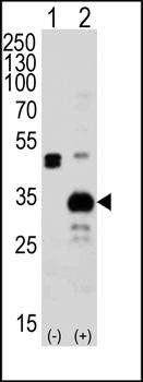 Western blot analysis of 293 cell lysateusing ATG5 antibody (primary antibody at 1:1000)