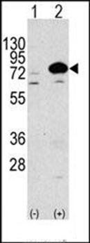 Western blot analysis of 293 cell line lysateusing ATG7 antibody (antibody dilution at 1:1000)