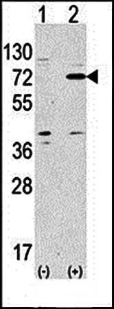 Western blot analysis of anti-ATG7 antibody in 293 cell line lysates