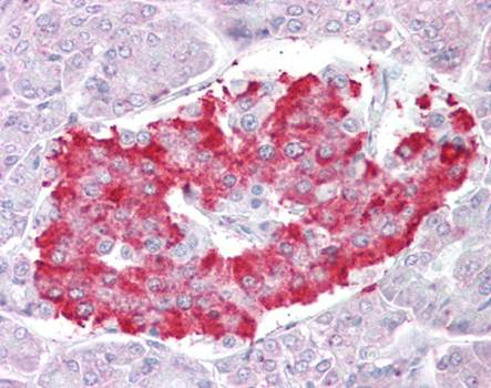 Immunohistochemical staining of paraffin embedded human pancreas tissue using AUTL4 antibody (primary antibody at 1:200)