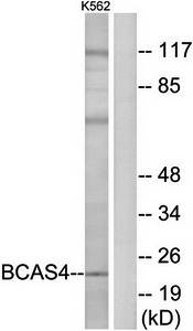 Western blot analysis of extracts from K562 cells using BCAS4 antibody