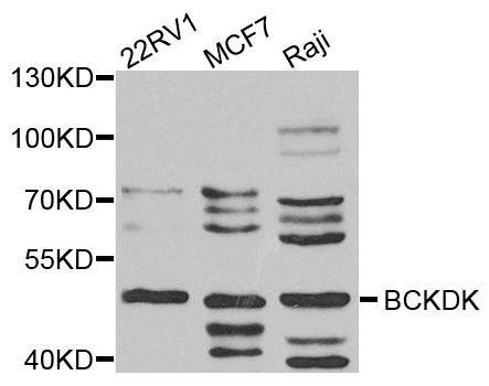 Western blot analysis of extract of various cells using BCKDK antibody