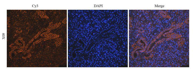 Immunofluorescence image of mouse lymph node tissue using BCL2  antibody (2.5 ug/ml)