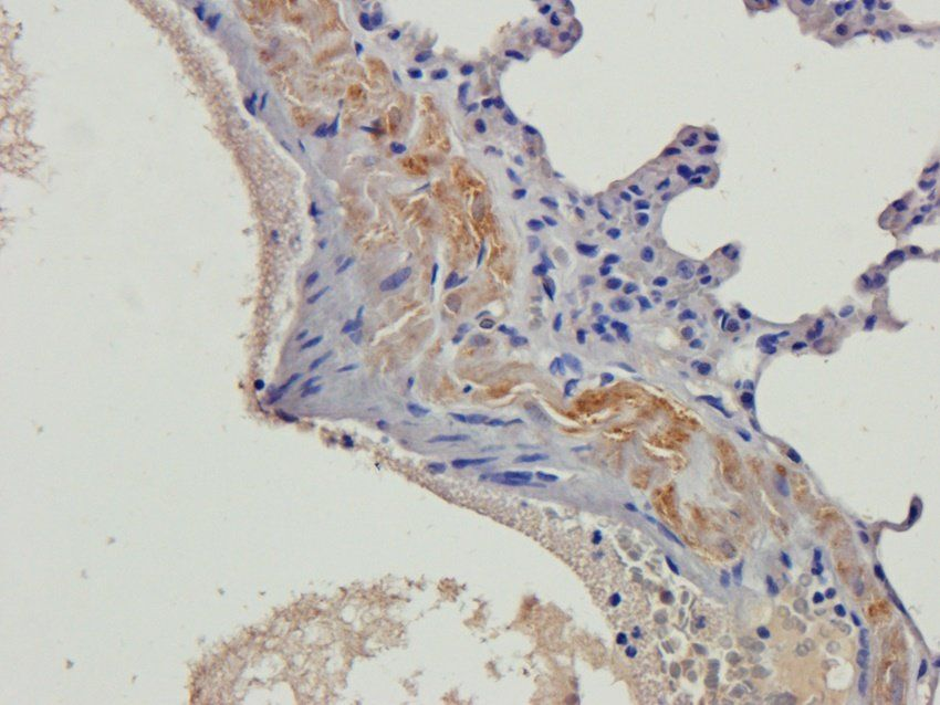 Immunohistochemical staining of paraffin embedded rat lung tissue using beta 2 Defensin antibody (2.5 ug/ml)