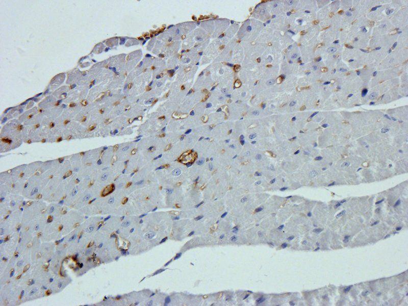 Immunohistochemical staining of paraffin embedded mouse heart tissue using beta 1 Adrenergic Receptor  antibody (primary antibody at 2.5 ug/ml)