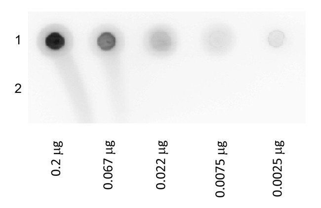Dot Blot analysis of Lane 1: Biotin Conjugated Glucose Oxidase. Lane 2: Glucose Oxidase. Load: 3-fold serial dilution starting at 200 ng using Biotin Glucose Oxidase Conjugated