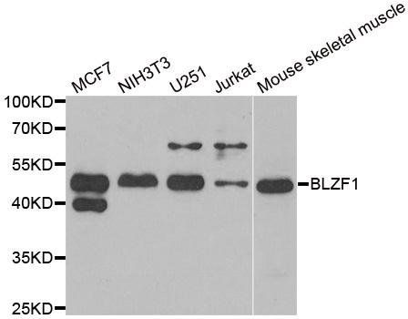Western blot analysis of extracts of various cell lines using BLZF1 antibody