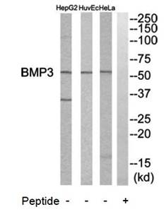 Western blot analysis of extracts from HeLa cells, HuvEc cells and HepG2 cells using BMP3 antibody
