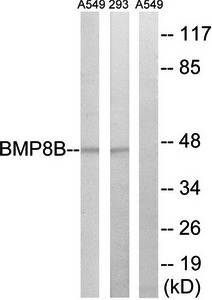 Western blot analysis of extracts from 293 cells and A549 cells using BMP8B antibody