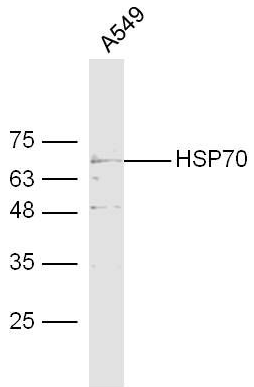 Western blot analysis of human A549 Cell lysate using HSP70 antibody