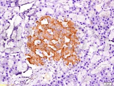 Immunohistochemical staining of rat pancreas tissue using PDX1 antibody