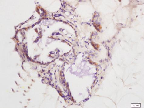 Immunohistochemical analysis of rat exfoliated cells using MIP1 alpha antibody