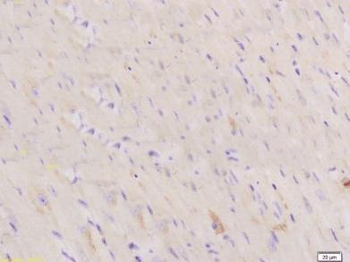 Immunohistochemical staining of mouse heart tissue using NPPC antibody