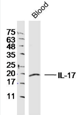 Western blot analysis of Mouse blood cell Lysate using IL17A antibody